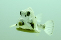   trunk fish. was hanging around looking food blowing water sand. passing observing find interesting angle. fish sand angle  